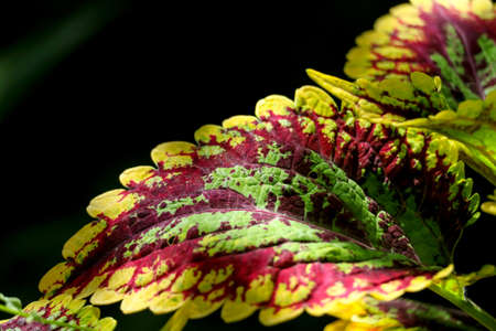 Coleus is a plant that is grown to decorate the garden, leaves has multicolor