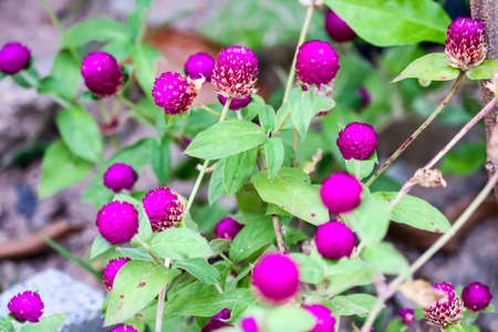 Gomphrena globosa L benefit, flowers and trees have a sweet, nasty taste, It is a deliberate drug that acts on the lungs and liver, Used as a liver remedy or a fire element in the liver, Help to cure eye sore eye