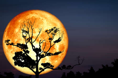 Super Full Bloody Moon back on silhouette dry branch tree on night sky