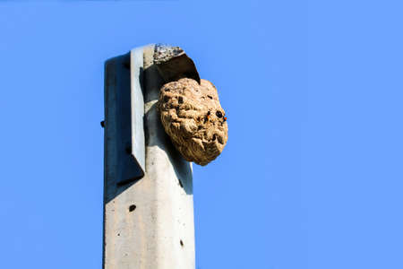 Wasps nest on the top of the electric pole, to avoid interference from other animals