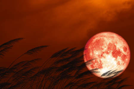 full strawberry moon on night red sky back silhouette grass flowers