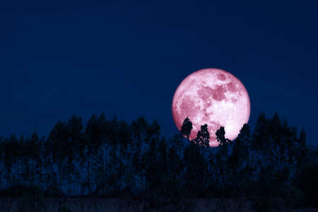 harvest pink moon on night sky back over silhouette pines tree and cloud