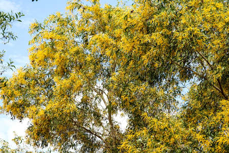 Wattle or Acacia auriculiformis little bouquet flower full blooming in the garden in spring Stock Photo