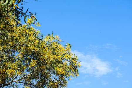 Wattle or Acacia auriculiformis little bouquet flower full blooming in the garden and white cloud background