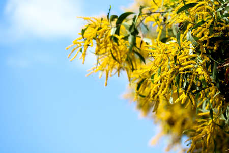 Wattle or Acacia auriculiformis little bouquet flower full blooming in the garden and blue sky background Stock Photo