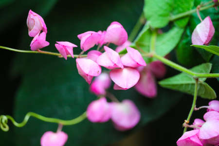 Mexican Creeper, Chain of Love or Antigonon leptopus pink bouquet flowers is blooming in garden