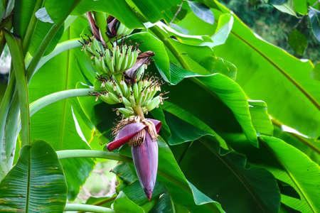 banana blossom properties to drink milk, nourish blood, help treat gastritis