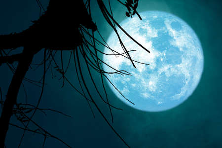 full blue Beaver Moon back on dark cloud on silhouette dry tree and the night sky