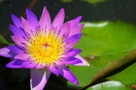 Pink purple Lotus Flower full blooming in pond and blur pad on water background Imagens