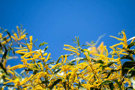 Wattle or Acacia auriculiformis little bouquet flower full blooming in the garden and blue sky background Imagens