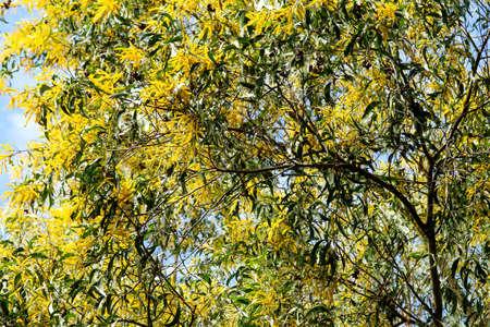 Wattle or Acacia auriculiformis little bouquet flower full blooming in spring