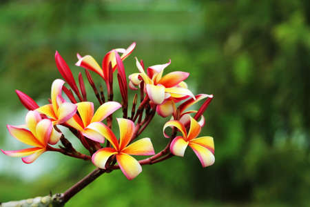 plumeria red white yellow bouquet flower blooming in the park Reklamní fotografie