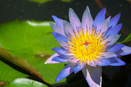 blue lotus flower full blooming in pond and blur pad on water background Reklamní fotografie