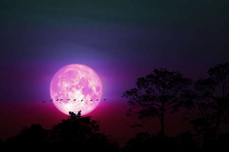 full pink moon back on silhouette plant on night sky