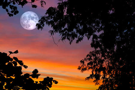 full oak moon on night sky and white cloud and silhouette plant  tree