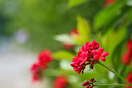 Cotton leaved jatropha red flowers and green leaves background in the garden