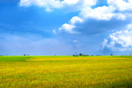beautiful agriculture jasmine rice farm in the morning dark blue sky white cloud background