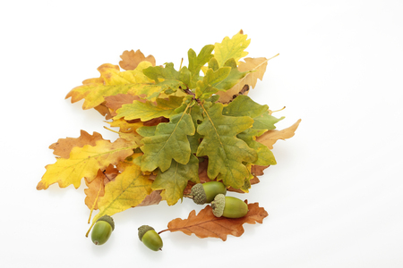 quercus robur: oak leaves in shades of brown, orange, yellow and green, and acorns on a white background
