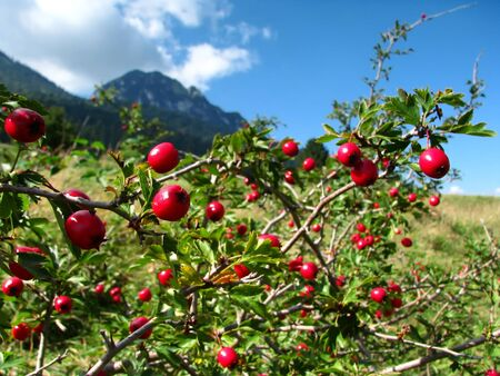 Image of wild hip roses with mountain in background