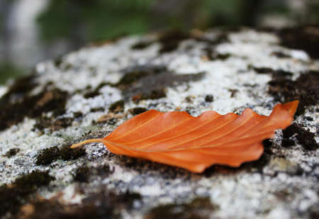 autumn colored leaf on mossy rock