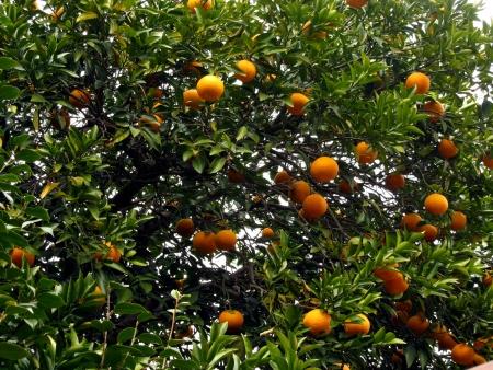 full grown: Image of orange tree with full grown oranges