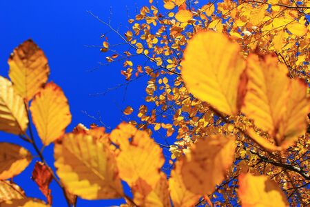 Yellow autumn leaves with pure blue sky in the backround Stock Photo