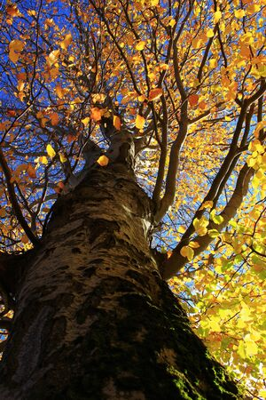Autumn yellow tree photographed from below Stock Photo