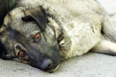 Stray dog with sad eyes, looking at the camera