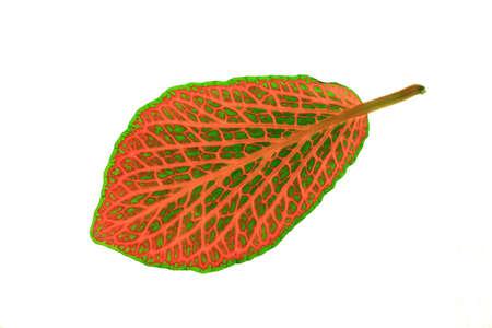 Fittonia ( mosaic plant ) isolated leaf Stock Photo