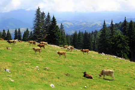 Cows on meadow in Transylvania