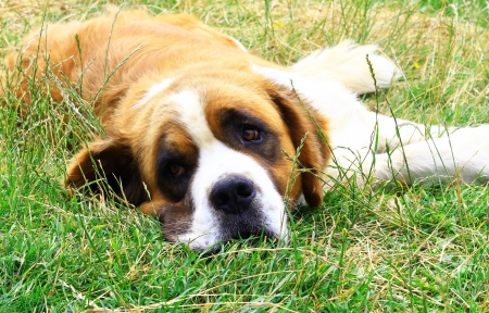 Saint Bernard dog looking at the camera photo