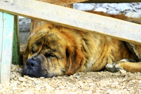 Saint Bernard dog sleeping photo