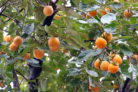 Japanese persimmon tree   kaki   with fruits
