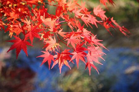 Japanese maple tree leaves ( momiji ) background