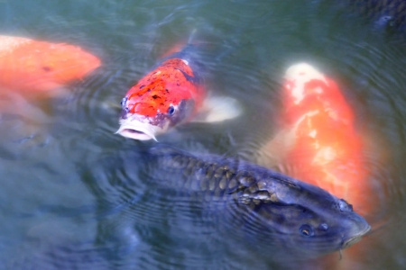 Japanese carps ( koi fishes ) inside pond.