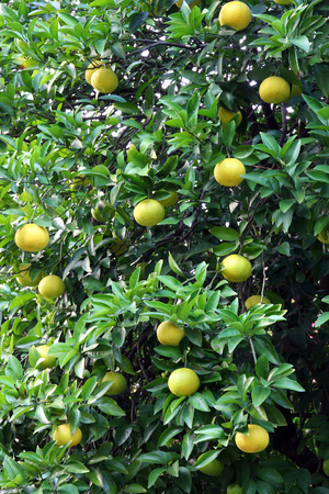 Grapefruit tree loaded with fruits. Stock Photo