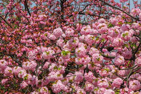 A Japanese cherry blossom tree in spring (sakura). Reklamní fotografie