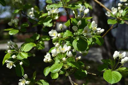 blooming apple tree photo