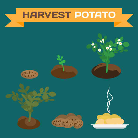 germination: Potatoes harvest. Process of growth of potato tubers to the finished dish flat cartoon vector illustration