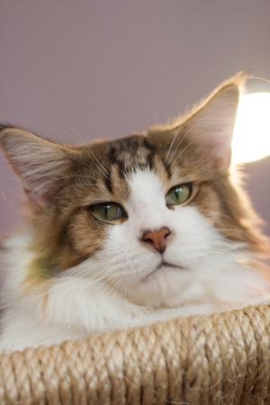 maine coon: Maine coon cat Lizenzfreie Bilder
