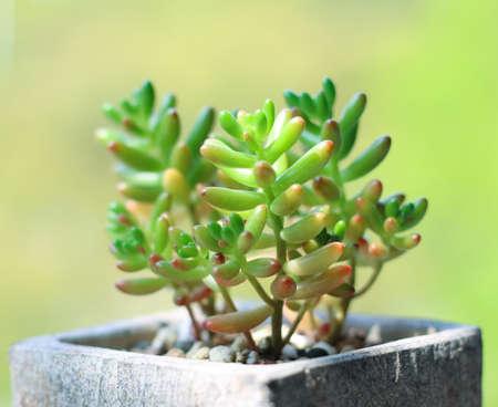 planta de frijol: planta de haba de jalea