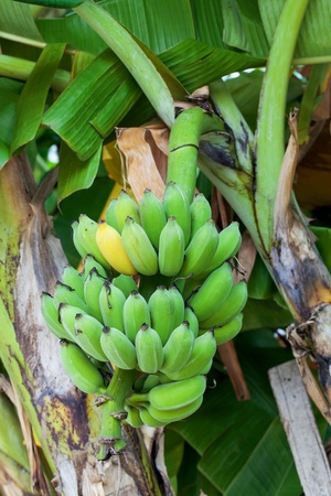 ripening: Bunch of ripening bananas on tree