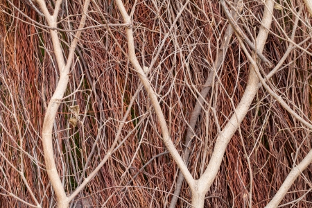 close up of red brushwood in a day Stock Photo - 16976251