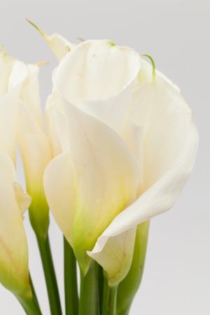 calla lily: close up white calla lily