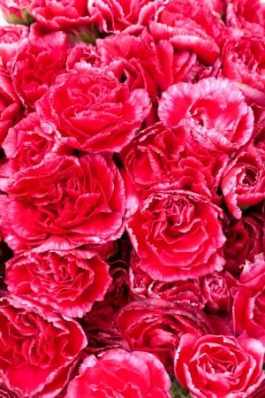 carnations: close up spray carnation flower