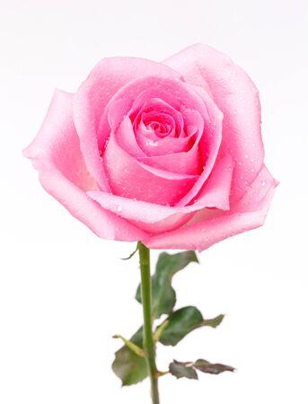 single rose: single pink rose on white background