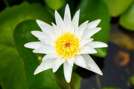 close up single white lotus