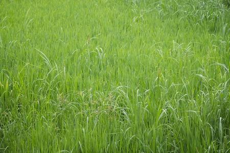 a lot of fresh green grass