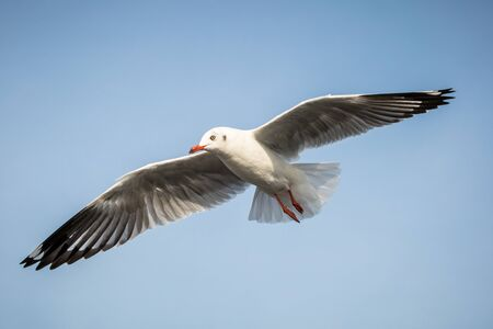 sea gull: seagull is flying in the blue sky Stock Photo