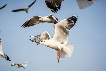 seagull is flying in the blue sky Stock Photo